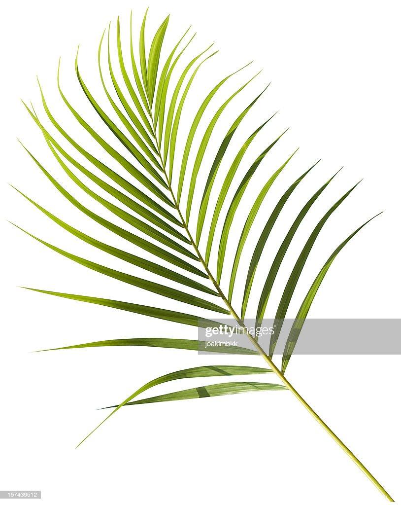 Vert Tropical Feuille de palmier isolé sur blanc avec un Tracé de détourage : Photo