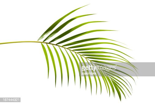 Tropical green palm leaf isolated on white with clipping path