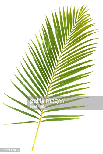 Tropical green palm leaf isolated on white with clipping path : Stock Photo