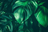 large green leaf in rain forest, dark green toned