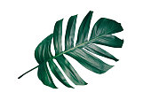 dark green leaf with clipping path