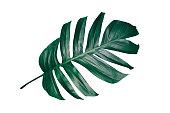 dark green leaf with clipping path