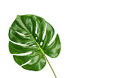 Tropical leaf monstera isolated on white background, top view. Summer palm fresh foliage concept with space for text. Monstera big green leaf.