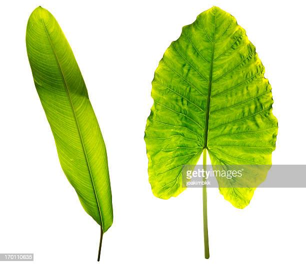 Tropical leaves isolated on white with clipping path