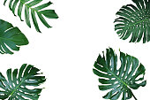 Tropical leaves nature frame layout of Monstera deliciosa, split-leaf philodendron, and pothos the exotic plants on white background.