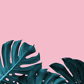 Tropical Leaves of monstera on a pink duotone background. Tropical frame with place for text, trendy design