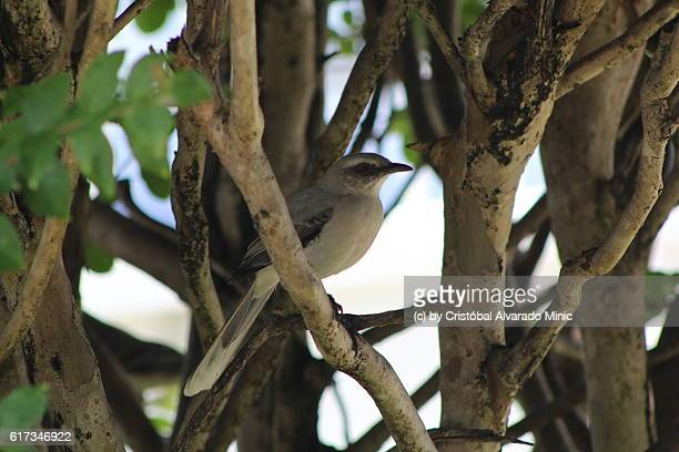 Tropical Mockingbird (Mimus gilvus) perched on a branch, Venezuela