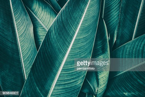 tropical palm leaf, dark green toned : Stock Photo