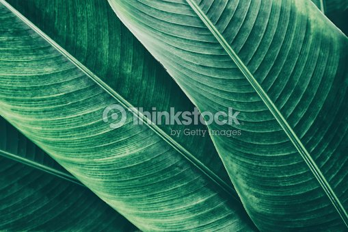 tropical palm leaf texture backgrounds : Stock Photo