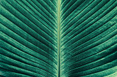 leaf vein, tropical palm texture backgrounds