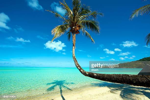 Palmier Tropical