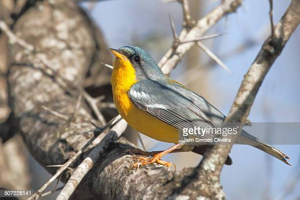 Tropical Parula on a tree