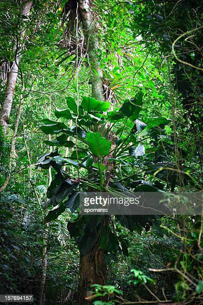 Tropische Regenwald im Henry Pittier National Park, Venezuela