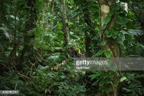 Tropical rainforest jungle, Ishigaki Island