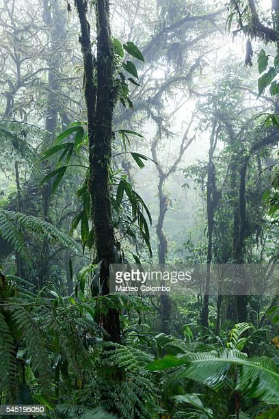 Tropical rainforest, Monteverde cloud forest, Costa Rica
