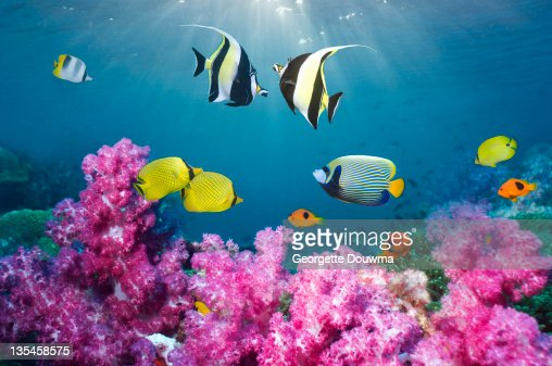 Tropical reef fish over soft corals. : Stock-Foto