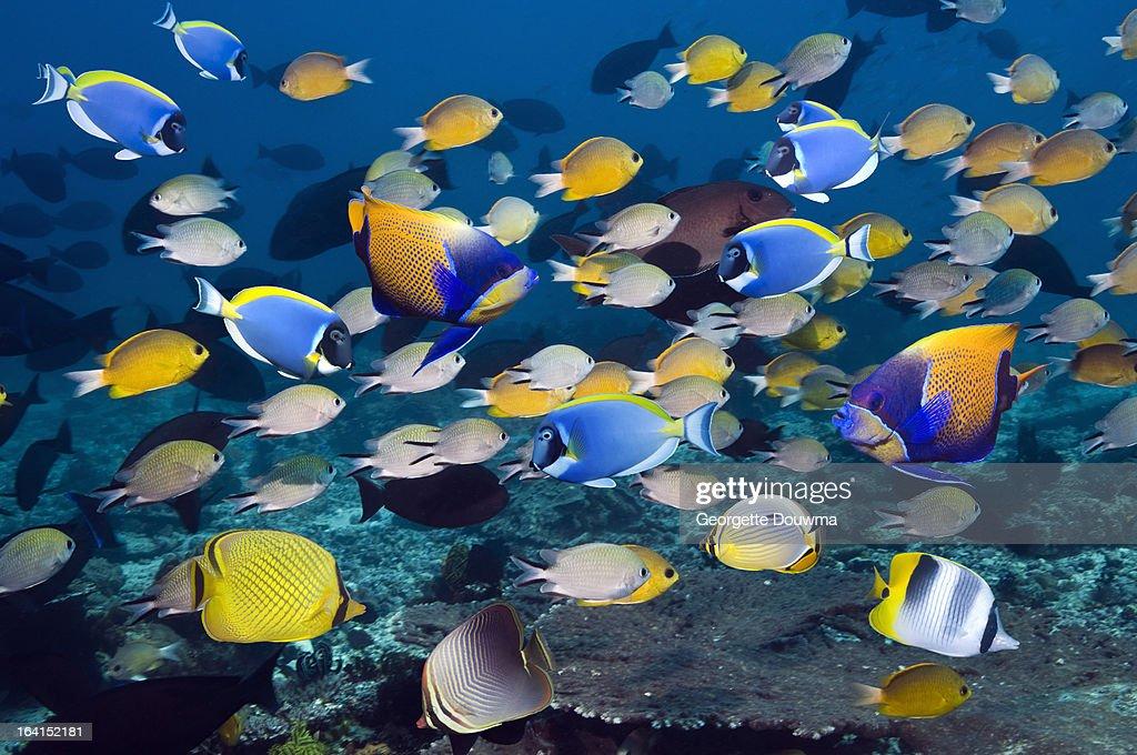 Tropical reef fish : Stock Photo