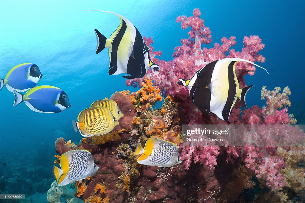 Tropical reef fish with soft corals : Stock Photo