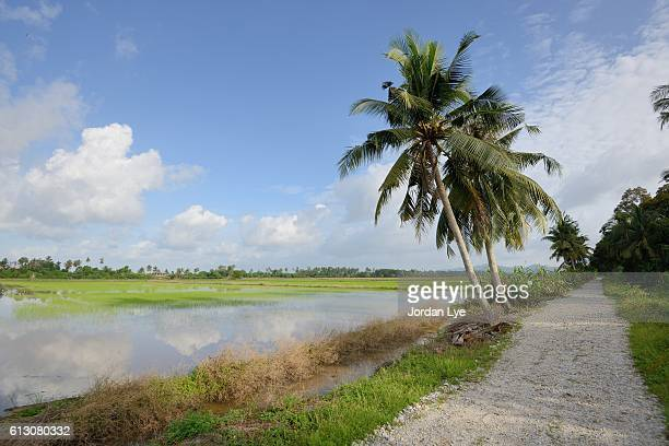 Tropical Rice paddy field