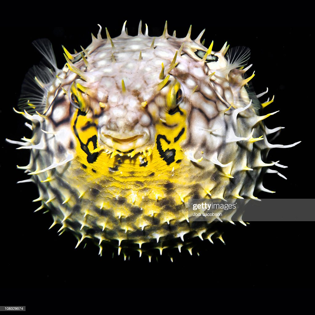 Tropical salt water fish Striped burrfish (Chilomycterus schoepfi)