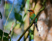 A tropical songbird calls out in the Costa Rican Rain forest from it's perch.