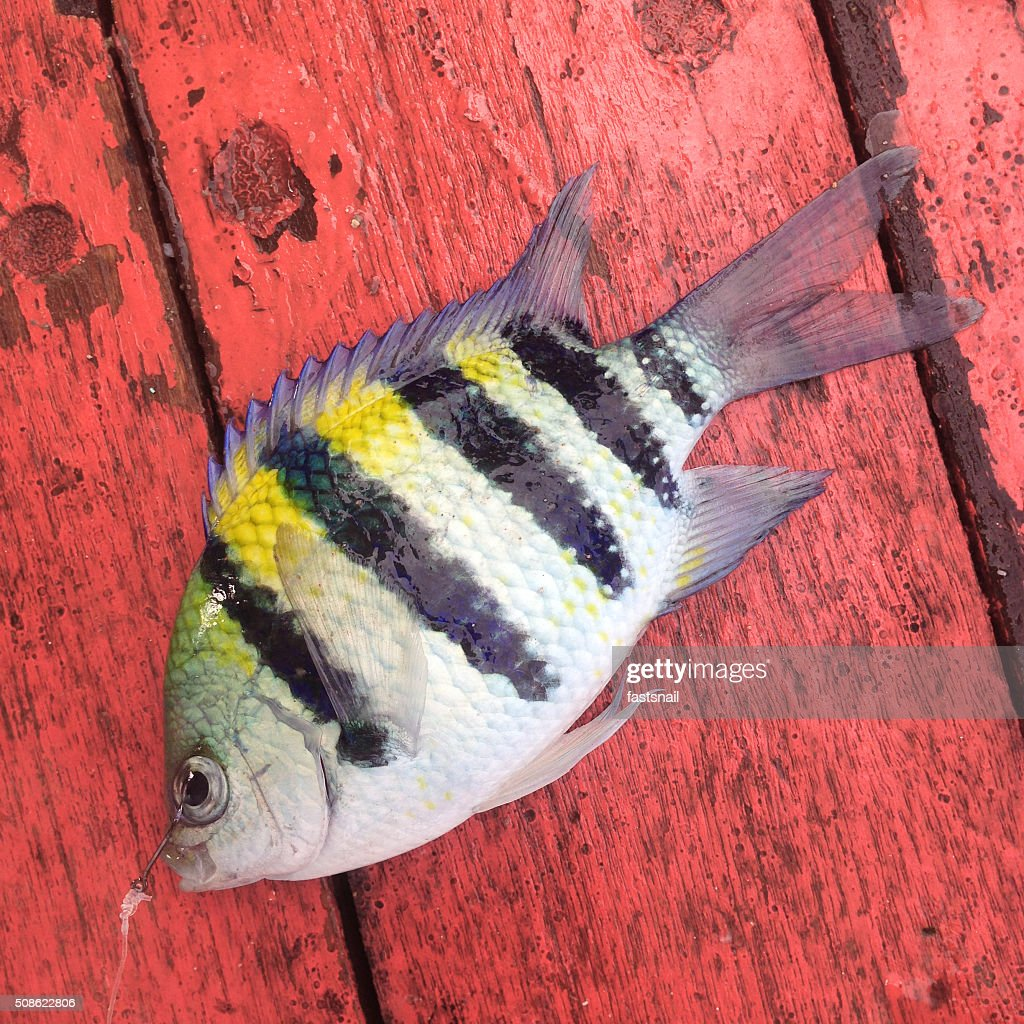 Tropical striped fish with yellow back on red wooden background : Stock Photo