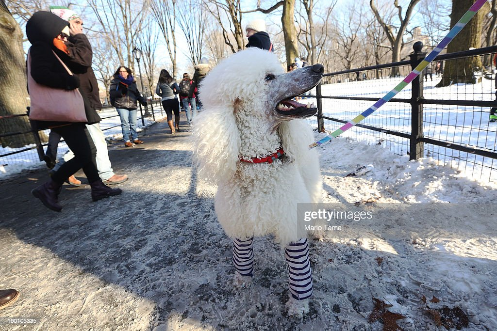 Trotsky the dog stands in leg warmers at the Winter Jam in Central Park on January 26, 2013 in New York City. The annual festival brings skiing, snowboarding and snowshoeing to New Yorkers with free equipment.