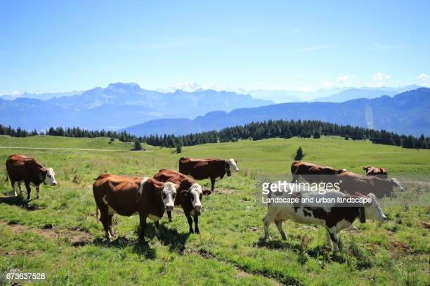 Troupeau de vaches rousses et blanches dans les alpages