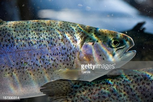 Trout fish immersed in water with light