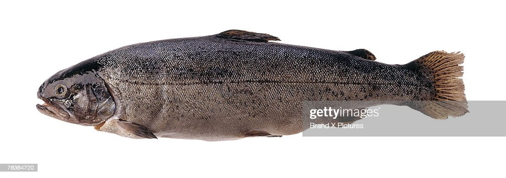 Trout : Stock Photo