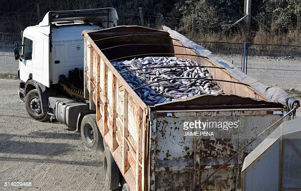 A truck carries salmons picked up at the the Fiordo Austral company in Calbuco near Puerto Montt Chile on March 5 2016 The alarms went off again in...