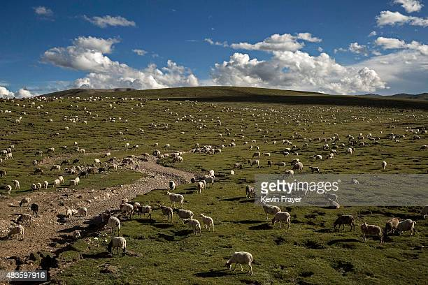 A truck carrying materials to be used in road construction passes a nomadic ethnic Tibetan herder on July 23 2015 on the Tibetan Plateau in Madou...