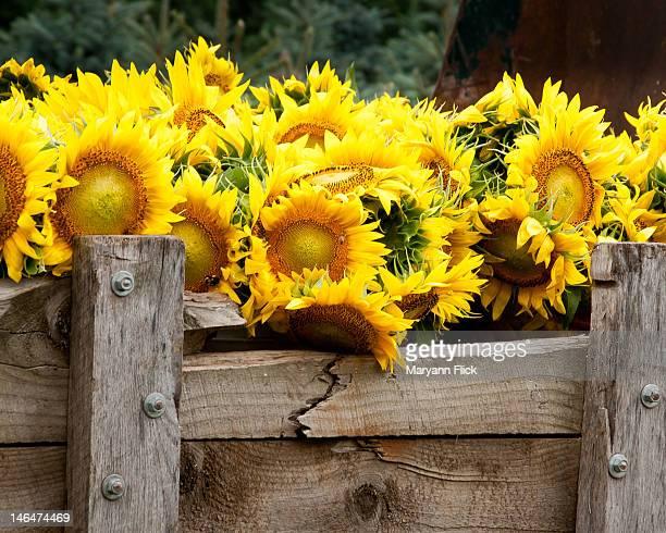 Truckload of sunflower