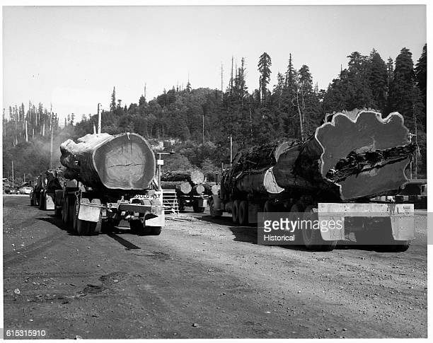 Trucks loaded with redwood logs at the scale house Simpson Lumber Co Mill Klamath