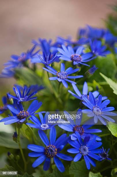 True Blue Cineraria Flower Pattern