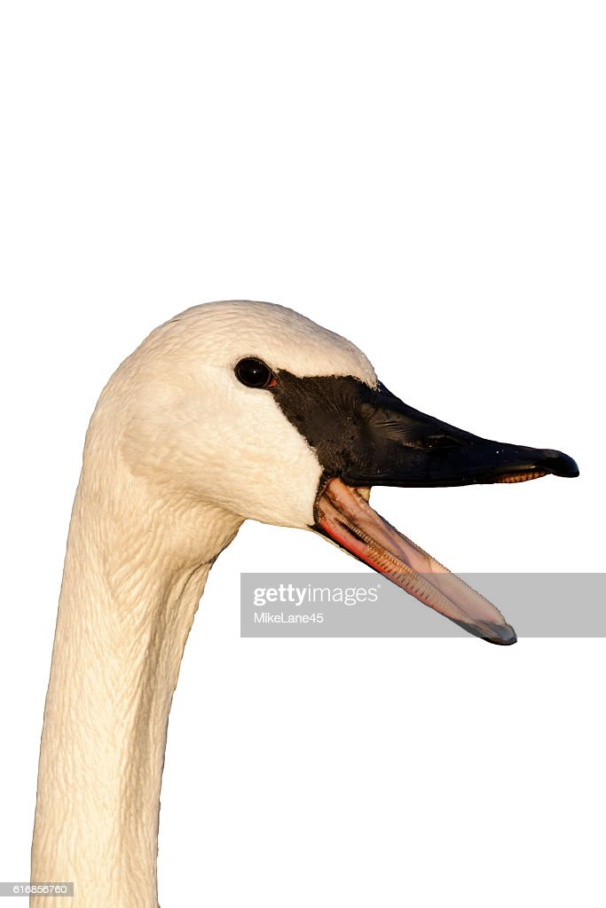 Trumpeter swan, Cygnus buccinator : Stock Photo