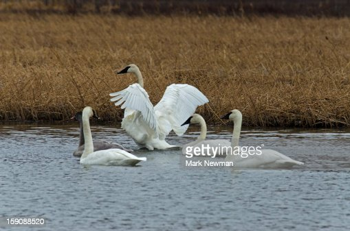 Trumpeter Swan spreading wings : Stock Photo