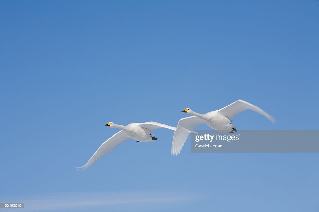 Trumpeter Swans (Cygnus buccinator)  : Stock Photo
