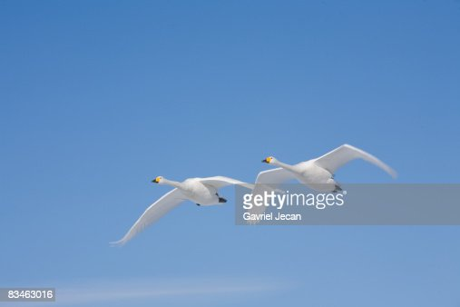 Trumpeter Swans (Cygnus buccinator)  : Stock Photo