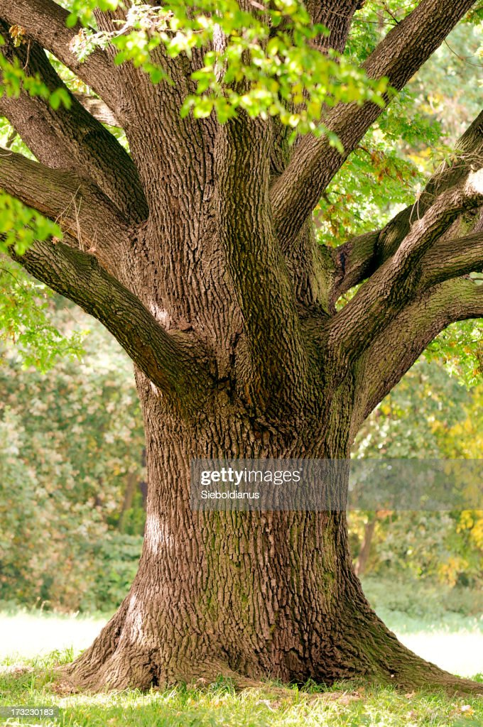 Trunk Closeup Of Old Oak Tree In Late Summer Stock Photo