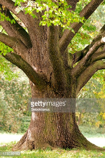 Trunk Close-Up of Old Oak Tree in Late Summer.
