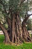 Ancient olive tree age 2000 years