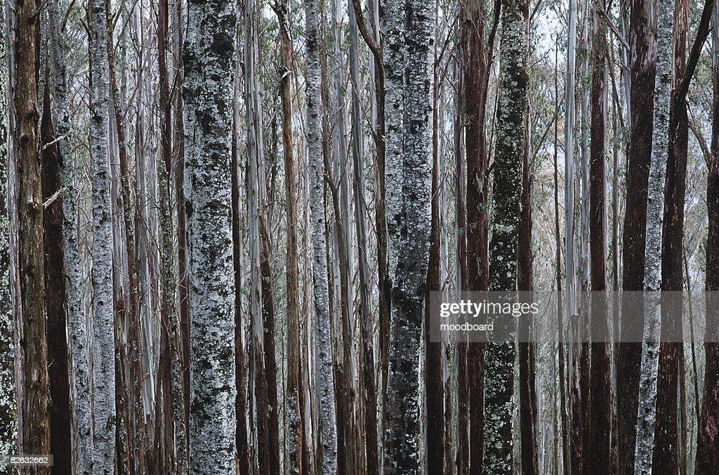 Trunks of Eucalypt Mountain Ash trees : Stock Photo