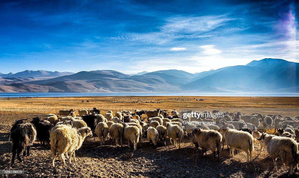 Tsomoriri, Ladakh
