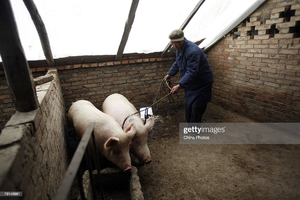 A Tu ethnic villager attempts to catch a pig in a pen at the Wushi Village on January 21, 2008 in Huzhu County of Qinghai Province, China. In countryside of Qinghai Province, many villages of the Han, Tu and other ethnic groups have keeped the tradition of slaughtering pigs in the twelfth month of the lunar year, to prepare pork for the upcoming Chinese New Year, or Spring Festival.