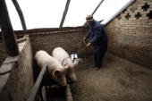 A Tu ethnic villager attempts to catch a pig in a pen at the Wushi Village on January 21 2008 in Huzhu County of Qinghai Province China In...