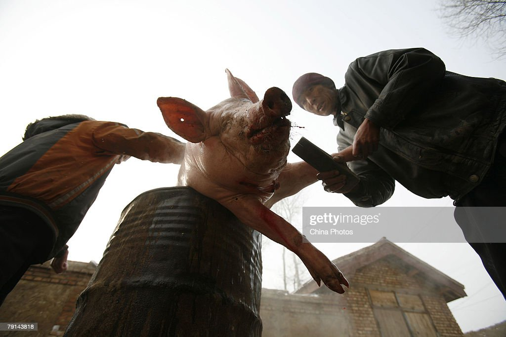Tu ethnic villagers pluck hairs from a slaughtered pig at the Wushi Village on January 21, 2008 in Huzhu County of Qinghai Province, China. In countryside of Qinghai Province, many villages of the Han, Tu and other ethnic groups have keeped the tradition of slaughtering pigs in the twelfth month of the lunar year, to prepare pork for the upcoming Chinese New Year, or Spring Festival.