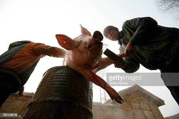Tu ethnic villagers pluck hairs from a slaughtered pig at the Wushi Village on January 21 2008 in Huzhu County of Qinghai Province China In...