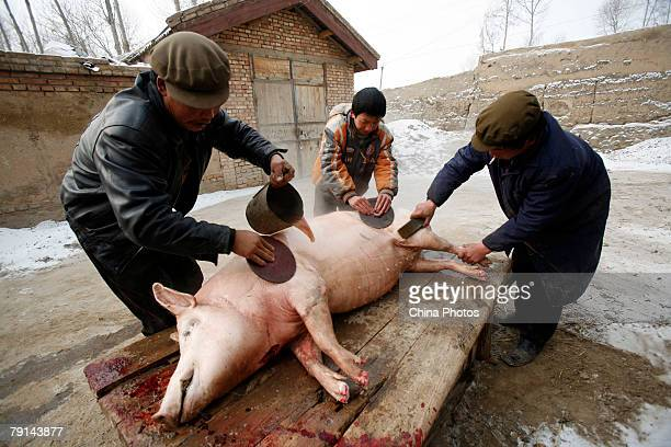 Tu ethnic villagers remove hair from a slaughtered pig at the Wushi Village on January 21 2008 in Huzhu County of Qinghai Province China In...
