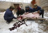 Tu ethnic villagers slaughter a pig at the Wushi Village on January 21 2008 in Huzhu County of Qinghai Province China In countryside of Qinghai...